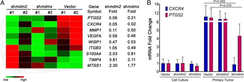 MDMX knockdown in primary tumors blocks the transcription of CXCR4 and PTGS2 . The 231.mir30.vector-, 231.sh mdm2 -, and 231.sh mdmx -derived primary tumors were lysed and used for total RNA extraction and complementary DNA synthesis. a Microarray analysis revealed selected tumor metastasis-related genes that were either up- or downregulated in 231.sh mdm2 and 231.sh mdmx compared with 231.mir30 vector. Fold changes were gated either > 2 or