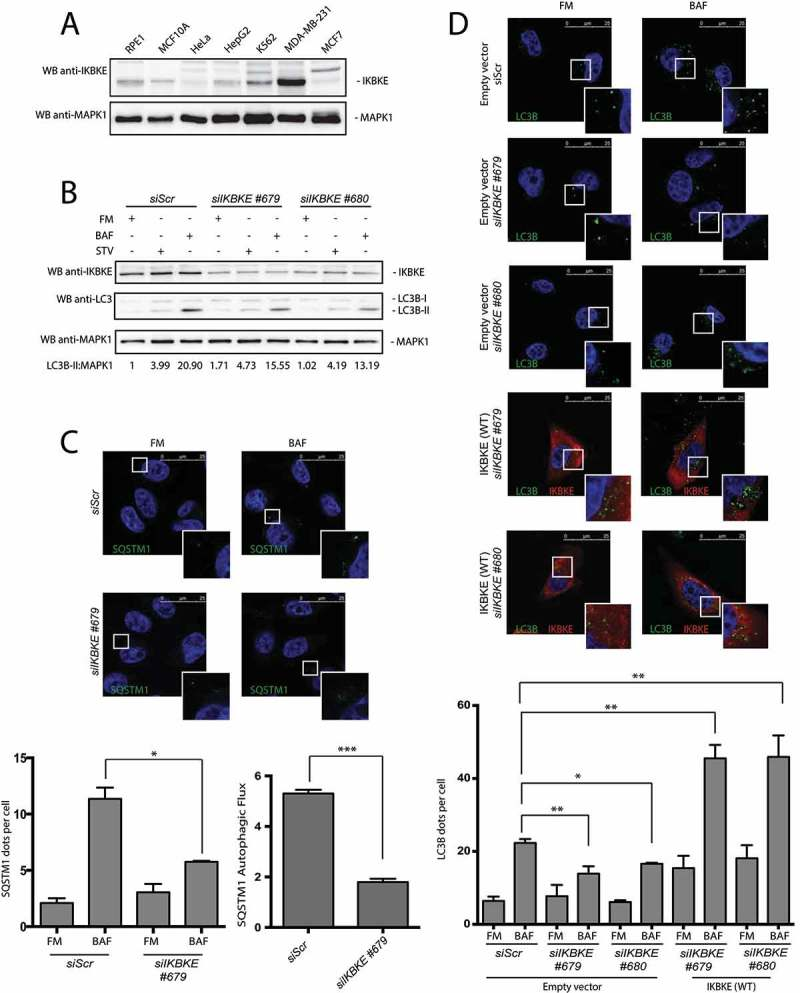The IKBKE human oncogene induces autophagy in MDA-MB-231 breast cancer cells. (a) Endogenous IKBKE protein levels were tested in indicated cell lines, by WB analysis. (b) Autophagic flux was evaluated in MDA-MB-231 breast cancer cells, upon downregulation of endogenous IKBKE protein levels by transfection of appropriate siRNA (scrambled siRNA as negative controls, and 2 unrelated specific siRNA against human IKBKE , #679 and #680). Where indicated, samples were treated with 400 nM BAF or with starvation medium (STV) for 5 h. Densitometric analysis of LC3B-II levels, normalized by the corresponding MAPK1 levels, is also shown. Results from one experiment, representative of 3 independent experiments (n = 3) are shown. (c) Autophagic flux was evaluated in MDA-MB-231 breast cancer cells by confocal microscopy analysis of MDA-MB-231 breast cancer cells, upon downregulation of endogenous IKBKE protein levels by transfection of appropriate siRNA (scrambled siRNA as negative controls, and unrelated specific siRNA against human IKBKE , #679). Where indicated, samples were treated with 400 nM BAF for 24 h. In these representative images, SQSTM1 is visualized in green and DAPI-stained nuclei in blue. SQSTM1-positive dots were counted using a specific protocol by volocity software (see graph in the lower panel). Scale bars: 25 μm. Results from one experiment, representative of 3 independent experiments (n = 3) are shown. (d) Autophagic flux was evaluated in in MDA-MB-231 cells transfected with Scr siRNA and siRNA specific for IKBKE , Followed by rescue with IKBKE (WT) overexpression. Where indicated, 4 h treatment with 400 nM BAF was performed. In these representative images, LC3B is visualized in green, IKBKE (WT) in red, and DAPI-stained nuclei in blue. LC3B-positive dots were counted using a specific protocol by volocity software (see graph in the lower panel). Scale bars: 25 μm. Results from one experiment, representative of 3 independent experiments (n = 3) are shown.