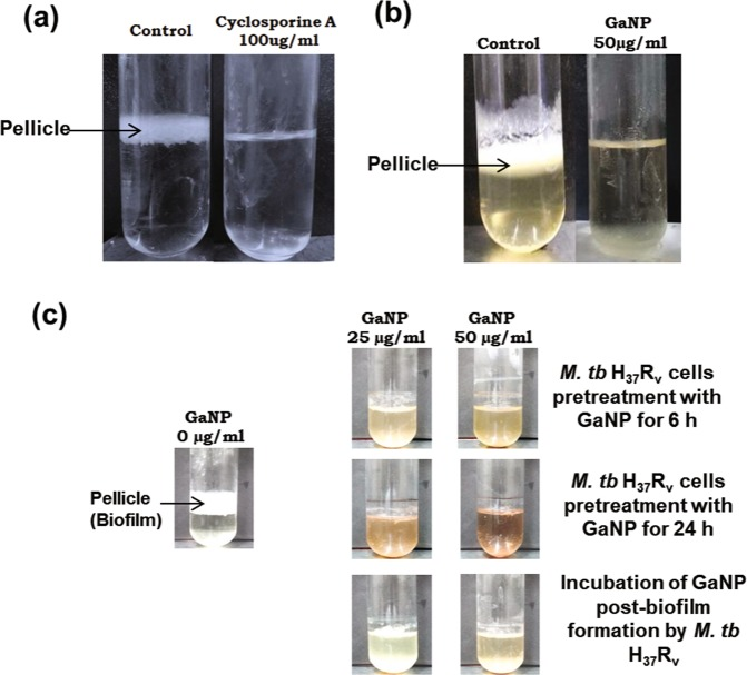 Effect of <t>cyclosporine-A</t> or GaNP on biofilm forming potential of M.tuberculosis H 37 Rv cells: H 37 Rv cells expressing PpiB were grown in static culture in absence or presence of cyclosporine-A (100 µg/ml) or GaNP (25, 50 µg/ml) for 7 days, as described in materials and methods. Representative figure of the pellicle formed at the liquid-air interface is shown. Suppressive effect of cyclosporine-A a and GaNP b on biofilm formation in M.tuberculosis H 37 Rv strains is evident. c Pretreatment or posttreatment of H 37 Rv cells with GaNP and the resultant suppression in biofilm formation