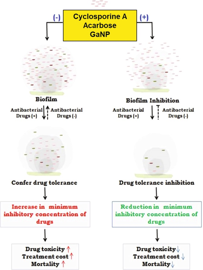 Schematic overview of the effect of repurposed drugs on biofilm and its outcome on tuberculosis treatment: Under stress like conditions Mycobacteria secrete exogenous layer of matrix that forms a physical barrier for entry of drugs. The cells within the matrix continuously secrete to develop a biomass of biofilm that enables the cells to withstand high minimum inhibitory concentration (MIC) of drugs. As a result, higher dosage of drugs is required to kill the cells. Cells at the core of the biofilm matrix are least affected by drugs and evolve in due time so as to withstand even higher concentration of drugs. This confers drug tolerance and leads to drug toxicity, increased treatment cost and mortality. Cyclosporine-A, acarbose and GaNP inhibit the activity of PpiB that play crucial role in biofilm formation. Treatment with these drugs suppresses formation of biofilm and the bacterium is exposed directly to the drugs. As a result the drug is effective at low MIC values. Treatment with these drugs also reduces the MIC of existing anti-tubercular drugs resulting in decreased toxicity. The end result is that patient mortality and treatment cost may be reduced significantly. Regular and dotted arrows in the figure denote confirmed and putative roles respectively