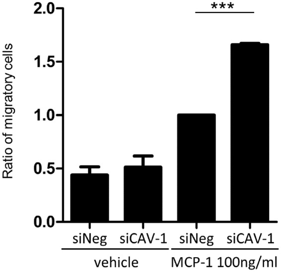 Enhanced chemoattractant activity in CAV-1-silenced monocytes. The chemoattractant activity of monocytes toward <t>MCP-1</t> was assessed by chemotaxis assay. Cav-1-silenced (siCAV-1) or control monocytes (siNeg) were seeded in the upper compartment, and the medium containing 100 ng/ml MCP-1 was then added to the lower compartment. After a 90-minute incubation, cells were collected from both compartments and manually counted. Graph displays the ratio of migrating monocytes. Monocytes were obtained from three donors, and results represented three independent experiments. Data are shown as a mean ± SD. One-way analysis of variance (post hoc Tukey), ***P