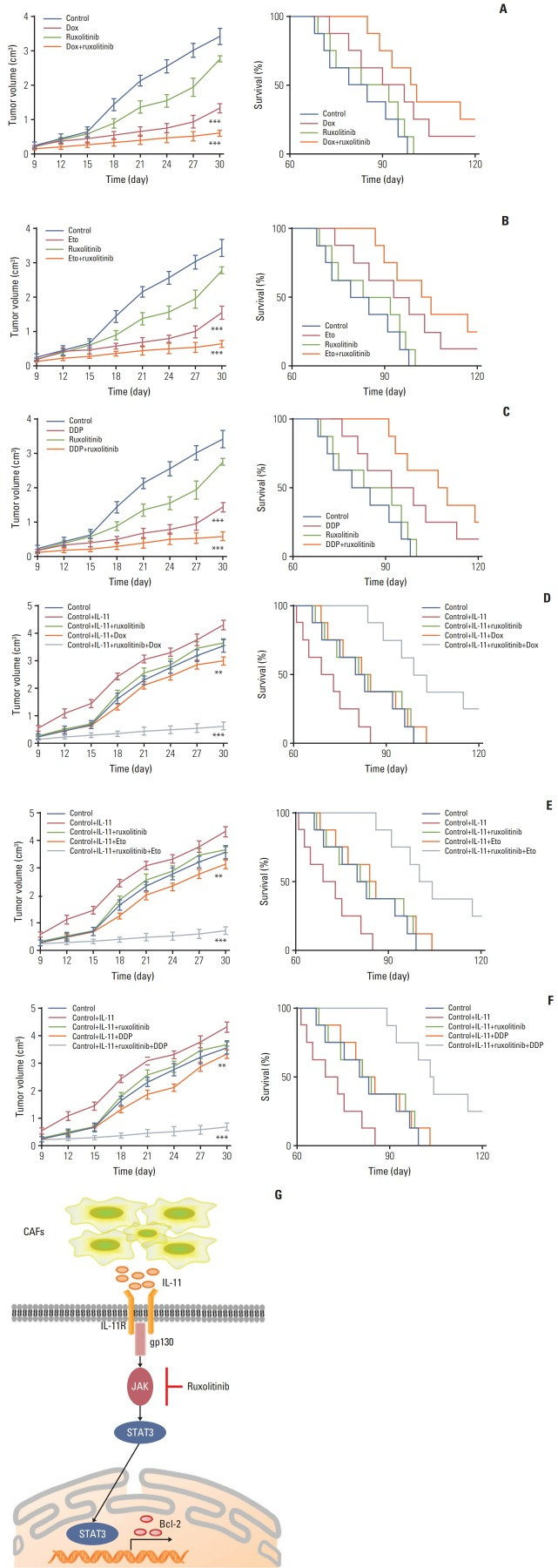 Blockade interlukin (IL)-11/IL-11R signal relieves chemotherapy drug resistance in gastric cancer. (A) The mean tumor volume of NOD-SCID mice bearing SGC7901 cells implants in phosphate buffered saline (PBS), doxorubicin, ruxolitinib, or doxorubicin combing ruxolitinib (left); the long-term survival of tumor bearing mice treated with PBS, doxorubicin, ruxolitinib, or doxorubicin combing ruxolitinib (right). Eto, etoposide; Dox, doxorubicin. (B) The mean tumor volume of NOD-SCID mice bearing SGC7901 cells implants in PBS, etoposide, ruxolitinib, or etoposide combing ruxolitinib (left); the long-term survival of tumor bearing mice treated with PBS, etoposide, ruxolitinib, or etoposide combing ruxolitinib (right). (C) The mean tumor volume of NOD-SCID mice bearing SGC7901 cells implants in PBS, DDP, ruxolitinib, or DDP combing ruxolitinib (left); the long-term survival of tumor bearing mice treated with PBS, DDP, ruxolitinib, or DDP combing ruxolitinib (right). (D) The mean tumor volume of NOD-SCID mice bearing SGC7901 cells injected with rhIL-11 and then treated with PBS, doxorubicin, ruxolitinib, or doxorubicin combing ruxolitinib (left); the long-term survival of NOD-SCID mice bearing SGC7901 cells injected with rhIL-11 (2.5 μg/kg) and then treated with PBS, doxorubicin, ruxolitinib, or doxorubicin combing ruxolitinib (right). (E) The mean tumor volume of NOD-SCID mice bearing SGC7901 cells injected with rhIL-11 (2.5 μg/kg) and then treated with PBS, etoposide, ruxolitinib, or etoposide combing ruxolitinib (left); the long-term survival of NOD-SCID mice bearing SGC7901 cells injected with rhIL-11 and then treated with PBS, etoposide, ruxolitinib, or etoposide combing ruxolitinib (right). (F) The mean tumor volume of NOD-SCID mice bearing SGC7901 cells injected with rhIL-11 (2.5 μg/kg) and then treated with PBS, DDP, ruxolitinib, or DDP combing ruxolitinib (left); the long-term survival of NOD-SCID mice bearing SGC7901 cells injected with rhIL-11 and then treated wit