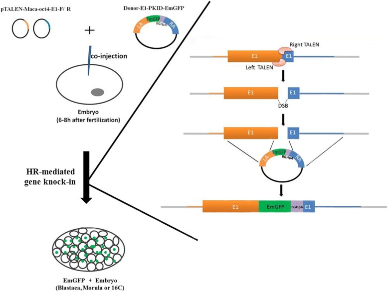 Workflow of TALEN-mediated generation of a monkey embryo carrying an EmGFP reporter in the OCT4 gene. TALENs-coding plasmids, pTALEN-Maca-oct4-E1-F/R, and the donor vector Donor-E1-PKID-EmGFP that targets exon 1 of the OCT4 gene were designed and co-injected into the cytoplasm of a zygote 6–8 h after fertilization. Treated embryos at the blastocyst, morula and 16-cell stages were collected and analyzed