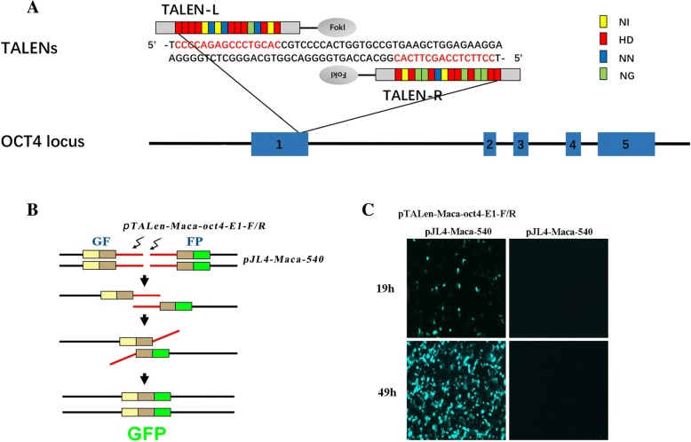 Schematic overview of the OCT4-EI-TALEN construction and the SSA assay for testing the OCT4-TALEN-coding plasmids. a The TALEN-targeted sequences within exon 1 of the OCT4 gene are labeled in red. Assembled Repeat Variable Diresidue (RVD) repeats are represented schematically as boxes and labeled in yellow, red, blue and green. b The overview of the GFP-reporter system for SSA. Red lines represent 541 bp oligonucleotides near the TALEN-targeted sites amplified from genomic DNA. c Fluorescence intensity of GFP in 293 T cells 19 h or 49 h post transfection with OCT4-E1-TALEN-coding plasmids and the reporter vector pJL4-SSA (left) or controls transfected only with the reporter plasmid (right)