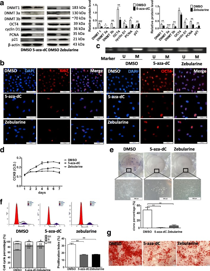 """DNMT inhibition decreased OCT4-increased proliferation capacity and differentiation potential in hHFMSCs. a The impact of 5-aza-dC (100 μM, 72 h) and zebularine (100 μM, 48 h) treatment on the expression of DNMTs, p21, OCT4, PCNA, and cyclin D1. b Immunofluorescence of proliferation-associated protein Ki67 (left panels) and OCT4 (right panels) expression and location after DNMT inhibition (bar, 50 μm). c MSP of p21 in hHFMSCs OCT4 treated with DMSO, 5-aza-dC, or zebularine. Cell proliferation curve ( d ) and clone formation assay ( e ) after DNMT inhibition; and the enlarged views showed the difference between DMSO and DNMT inhibitor-treated hHFMSCs OCT4 . The histogram is the formation rate of the three clones. f Effects of DNMT inhibition on hHFMSC cell cycle phase distribution. The percentage of the G1, G2, and S phases in the cell cycle (left of the lower panel) and the PI (right of the lower panel) after DNMT inhibition. """"dip"""" is the abbreviation for diploid. g Osteogenic differentiation after DNMT inhibition. Calcium nodules were detected by Alizarin Red S staining (bar, 50 μm). (* p"""