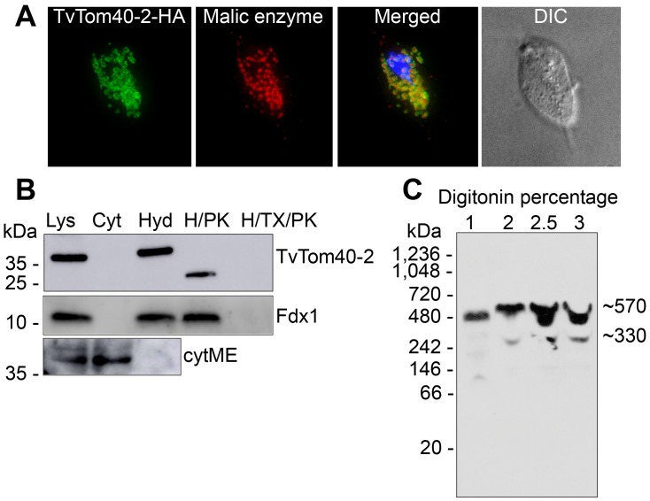 Localisation of TvTom40-2 in the hydrogenosomal outer membrane. (A) HA-tagged TvTom40-2 and malic enzyme (hydrogenosomal matrix protein) were visualised using mouse α-HA (green) and rabbit α-malic enzyme (red) antibodies, respectively. The nucleus was stained with DAPI (blue). (B) Localisation and topology of TvTom40-2 in  T .  vaginalis  subcellular fractions. Immunoblot analysis of the whole cell lysate, cytoplasm, hydrogenosomes, hydrogenosomes treated with proteinase K, and hydrogenosomes treated with proteinase K in the presence of Triton X-100 using antibodies against HA, Fdx1 (hydrogenosomal matrix protein), and cytosolic malic enzyme. (C) BN-PAGE immunoblots of digitonin-lysed hydrogenosomal extract from the strain expressing HA-tagged TvTom40-2. The samples were probed with α-HA antibody. BN-PAGE, blue native PAGE; Cyt, cytoplasm; cytME, cytoplasmic malic enzyme; DIC, differential interference contrast; Fdx, ferredoxin; H/PK, hydrogenosomes treated with proteinase K; H/TX/PK, hydrogenosomes treated with proteinase K in the presence of Triton X-100; HA, human influenza hemagglutinin; Hyd, hydrogenosomes; Lys, lysate; TOM, translocase of the outer membrane; TvTom,  T .  vaginalis  TOM.