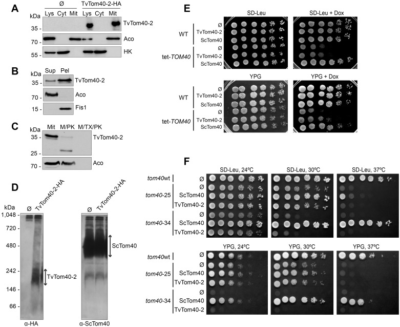 TvTom40-2 was assembled in the mitochondrial outer membrane in  S .  cerevisiae , and it could partially rescue the growth phenotype of  TOM40  mutants. (A) Whole cell lysate and fractions corresponding to cytoplasm and mitochondria were obtained from the WT strain transformed with an empty plasmid (Ø) or a plasmid encoding HA-tagged TvTom40-2. Proteins were analysed by SDS-PAGE and immunodecorated with antibodies against HA, aconitase (mitochondrial matrix protein) and hexokinase (cytosolic protein). (B) The mitochondrial fraction of cells expressing HA-tagged TvTom40-2 were subjected to alkaline extraction. Samples corresponding to supernatant and pellet fractions were analysed by western blotting using antibodies against HA, Aco, and Fis1. (C) Mitochondria as in panel B were treated with proteinase K or with proteinase K in the presence of Triton X-100. Further analysis was as in panel A. (D) Mitochondria were isolated from the strains described in panel A and solubilised in digitonin-containing buffer. Samples were analysed by BN-PAGE and immunodecorated with the indicated antibodies. (E) WT and tet- TOM40  cells transformed with empty plasmid (Ø) or with plasmid encoding either TvTom40-2 or ScTom40 were grown to an OD 600  of 1.0 and spotted in a 1:5 dilution series on synthetic glucose-containing medium lacking Leucine, SD-Leu supplemented with Dox, rich glycerol-containing medium (YPG), or YPG supplemented with Dox. The plates were then incubated at 30 °C for 2 to 3 days. (F) WT strain transformed with empty plasmid (Ø), or  tom40 -25 and  tom40 -34 strains transformed with empty plasmid (Ø) or with a plasmid encoding either TvTom40-2 or ScTom40, were grown to an OD 600  of 1.0 and spotted in a 1:5 dilution series on SD-Leu or YPG. The plates were then incubated at 24 °C, 30 °C, or 37 °C for 2 to 4 days. Aco, aconitase; BN-PAGE, blue native PAGE; Cyt, cytoplasm; Dox, doxycycline; Fis1, mitochondrial fission 1; HA, human influenza hemagglutinin; HK, hexokinase