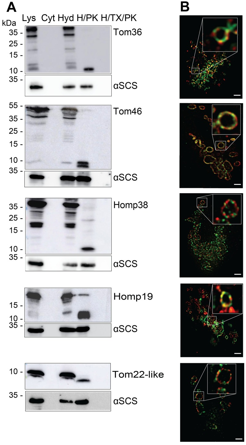Localisation and topology of the TA proteins. (A) Immunoblot analysis of TA proteins in  T .  vaginalis  subcellular fractions using α-V5 and α-αSCS (hydrogenosomal matrix protein) antibodies. Total cell lysates, cytoplasm, hydrogenosomes, hydrogenosomes treated with either proteinase K, or hydrogenosomes treated with proteinase K and Triton X-100 isolated from the strains expressing V5-tagged Tom36, Tom46, Homp38, Homp19, and Tom22-like protein. (B) Double transfectants expressing HA-tagged TvTom40-2 along with one of the V5-tagged proteins, Tom36, Tom46, Homp38, Homp19 or Tom22-like protein were visualised using mouse α-HA/α-mouse Abberior STAR 580 (green) and rabbit α-V5/α-rabbit Abberior STAR 635p (red) antibodies. Scale bar, 1 μm. αSCS, α-subunit of succinyl CoA synthetase; CoA, coenzyme A; Cyt, cytoplasm; H/PK, hydrogenosomes treated with proteinase K; H/TX/PK, hydrogenosomes treated with proteinase K in the presence of Triton X-100; HA, human influenza hemagglutinin; Homp, hydrogenosomal outer membrane protein; Hyd, hydrogenosomes; Lys, lysate; TA, tail-anchored; TOM, translocase of the outer membrane; TvTom,  T .  vaginalis  TOM.