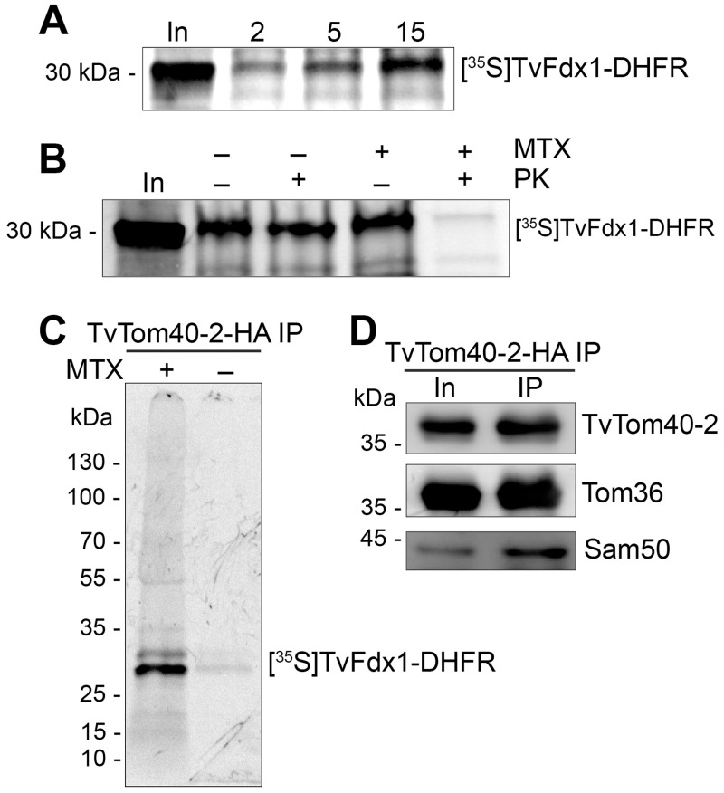 TvTom40-2 is involved in hydrogenosomal protein import. (A) Autoradiograph showing a time-dependent in vitro import of  35 S-Met-labeled TvFdx1-DHFR into hydrogenosomes. (B) Autoradiograph showing the in vitro import of  35 S-Met-labeled TvFdx1-DHFR into hydrogenosomes in either the absence (−) or the presence (+) of MTX, followed by proteinase K (+) treatment. (C) Autoradiograph showing the eluates for the TvTom40-2-HA coIP following the in vitro import of  35 S-Met-labeled TvFdx1-DHFR into hydrogenosomes isolated from a strain expressing both TvTom40-2-HA and Tom36-V5 either in the presence (+) or the absence (−) of MTX. (D) Immunoblot of the same eluates as in panel C using α-HA, α-V5, and α-Sam50 antibodies. coIP, co-immunoprecipitation; DHFR, dihydrofolate reductase; Fdx, ferredoxin; HA, human influenza hemagglutinin; In, input; MTX, methotrexate; PK, proteinase K; Sam, sorting and assembly machinery; TOM, translocase of the outer membrane; TvTom,  T .  vaginalis  TOM.