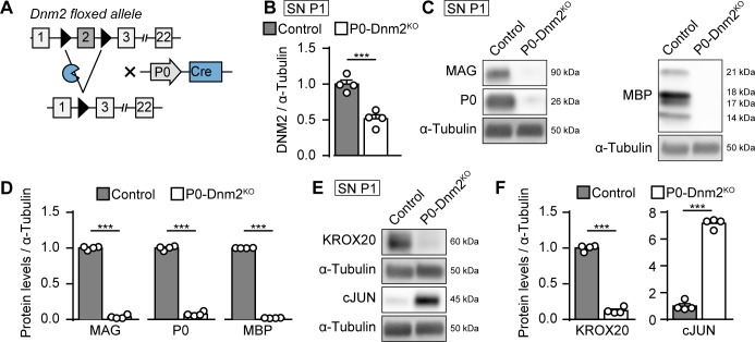 Dynamin 2 ablation in Schwann cells inhibits their differentiation and myelination. ( A ) Schematic representation of Dnm2 ablation in SCs. Exon 2 of Dnm2 is flanked by LoxP sites and excised upon expression of Cre recombinase under the control of the SC-specific Mpz promoter. ( B ) Quantification referring to Figure 1A and Supplementary file 1A (full-length blots). Relative amounts of DNM2 protein in SN extracts derived from Dnm2 loxP/loxP (control) and Mpz Cre :Dnm2 loxP/loxP (P0-Dnm2 KO ) mice at P1. Control average is set to 1. N = 4 mice/genotype, two-tailed unpaired Student's t-test. ( C ) Representative immunoblot of the myelin proteins MAG, P0, and MBP in SN lysates from P1 control and P0-Dnm2 KO mice. N = 4 mice/genotype. Full-length blots in Supplementary file 1D . ( D ) Relative amounts of myelin proteins in P1 SNs of control and P0-Dnm2 KO mice. Control average is set to 1. N = 4 mice/genotype, two-tailed unpaired Student's t-test. ( E ) Representative immunoblot analysis of the differentiation markers KROX20 and cJUN in SN lysates from P1 control and P0-Dnm2 KO mice. N = 4 mice/genotype, full-length blots in Supplementary file 1D . ( F ) Relative amounts of KROX20 and cJUN in P1 SNs of control and P0-Dnm2 KO mice. Control average is set to 1. N = 4 mice/genotype, two-tailed unpaired Student's t-test. Results in graphs represent means ±s.e.m.; ***p