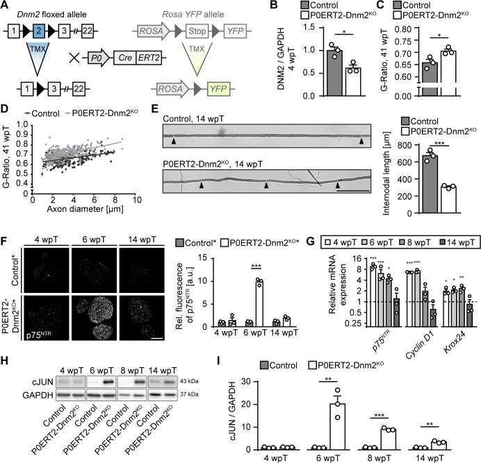 Dynamin 2 ablation in adult Schwann cells induces transient cellular dedifferentiation. ( A ) Schematic representation of inducible Dnm2 ablation and YFP expression in adult SCs. The inducible Cre-ERT2 fusion recombinase is expressed under the SC-specific Myelin Protein Zero ( Mpz ) promoter. Upon tamoxifen injection, the recombinase shuttles into the nucleus leading to excision of floxed exon 2. The Cre-dependent RosaYFP-reporter allele was used in some experiments to track recombination in SCs. In this case, the transcription stop signal flanked by loxP sites is excised upon tamoxifen administration leading to YFP expression. ( B ) Quantification referring to Figure 2A , full-length blots in Supplementary file 1B . Relative amounts of DNM2 protein in sciatic nerve (SN) extracts derived from Dnm2 loxP/loxP (control) and Mpz CreERT2 :Dnm2 loxP/loxP (P0ERT2-Dnm2 KO ) mice at 4 wpT. Control average was set to 1. N = 3 mice/genotype, two-tailed unpaired Student's t-test. ( C ) Average g-ratios of control and P0ERT2-Dnm2 KO SNs indicate a slight hypomyelination of mutant mice at 41 wpT. At least 90 axons/sample were analyzed (random EM fields). N = 3 mice/genotype, two-tailed unpaired Student´s t-test. ( D ) G-ratios as function of axon diameters. ( E ) (left) Exemplary picture of internodes of teased osmicated fibers from SNs of control and P0ERT2-Dnm2 KO mice at 14 wpT. (right) Quantification of internodal lengths. 100 internodes/animal were measured, n = 3 mice/genotype, two-tailed unpaired Student´s t-test. Black arrowheads: Nodes of Ranvier. Scale bar = 100 μm (for both panels). ( F ) (left) Immunostaining of Mpz CreERT2 :Rosa26-stop loxP/loxP -YFP (control*) and Mpz CreERT2 :Dnm2 loxP/loxP :Rosa26-stop loxP/loxP -YFP (P0ERT2-Dnm2 KO *) SN cross-sections for p75 NTR at different time points. There was a pronounced, but transient increase of p75 NTR staining at 6 wpT in P0ERT2-Dnm2 KO* mice. (right) Quantification of relative signal intensity of p75 NTR immunostaini