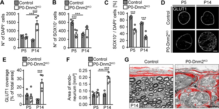 Lack of dynamin 2 in Schwann cells of developing nerves causes Schwann cell loss and invasion of perineurial cells. ( A ) Quantification of total nuclei on full cross-sections of control and P0-Dnm2 KO SNs at P5 and P14 (P5-representative picture in Figure 3E ). N = 5 mice/time point and genotype, Two-Way ANOVA with Sidak's multiple comparisons test. ( B ) Quantification of total SOX10+ SCs on cross-sections of control and P0ERT2-Dnm2 KO SNs at P5 and P14 (P5-representative picture in Figure 3E ). N = 5 mice/time point and genotype, Two-Way ANOVA with Sidak's multiple comparisons test. ( C ) Percentage of SOX10+ SCs among total DAPI+ cells in controls and P0ERT2-Dnm2 KO SNs at P5 and P14. N = 5 mice/time point and genotype, Two-Way ANOVA with Sidak's multiple comparisons test. ( D ) Immunostainings of GLUT1 on cross-sections of control and P0ERT2-Dnm2 KO SNs at P5 and P14. Scale bar = 100 μm for entire panel. ( E ) Quantification of ( D ). Relative GLUT1-immunopositive area/total area of SN cross-sections of control and P0ERT2-Dnm2 KO mice. N = 5 mice/time point and genotype, Two-Way ANOVA with Sidak's multiple comparisons test. ( F ) Quantification of ( D ). SN endoneurial area (mm 2 ). N = 5 mice/time point and genotype, Two-Way ANOVA with Sidak's multiple comparisons test. ( G ) Exemplary EM images showing ultrastructural organization of control and P0-Dnm2 KO SNs at P14. Perineurial cells are false colored in red. N = 3 mice/genotype. Scale bar = 10 μm for entire panel. Results in graphs represent means ±s.e.m.; ***p