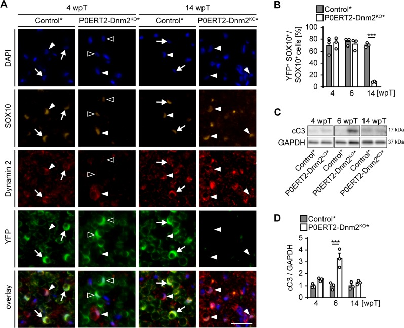 Adult dynamin 2-depleted Schwann cells are replaced by dynamin 2-positive Schwann cells in remyelinated nerves. ( A ) Immunostainings for <t>DNM2,</t> SOX10 (SCs) and YFP (reporter-recombined SCs) on SN cross-sections of control* (Mpz CreERT2 :Rosa26-stop loxP/loxP -YFP) and P0ERT2-Dnm2 KO * (Mpz CreERT2 :Dnm2 loxP/loxP : Rosa26-stop loxP/loxP -YFP) mice at 4 wpT and 14 wpT. White arrows: YFP-recombined SCs that express DNM2 (in controls at 4 wpt and 14 wpt); black arrowheads: YFP-recombined SCs lacking DNM2 (in mutants at 4 wpt); white arrowheads: Non-recombined SCs expressing DNM2 (in controls and mutants at 4 wpt and 14 wpt). Scale bar = 25 μm for entire panel. ( B ) Quantification related to ( A ). Percentage of YFP+ cells among SOX10+ SCs/SN cross-sections at 4 wpT, 6 wpT, and 14 wpT. N = 3 mice/genotype, Two-Way ANOVA with Sidak's multiple comparisons test. ( C ) Western blot analysis of cleaved caspase 3 (cC3) in SN lysates of control* and P0ERT2-Dnm2 KO * mice at 4 wpT, 6 wpT and 14 wpT. Full-length blots in Supplementary file 1F . ( D ) Quantification referring to ( C ). Control average was set to 1. N = 3 mice/time point and genotype, Two-Way ANOVA with Sidak's multiple comparisons test. Results in graphs represent means ±s.e.m.; ***p