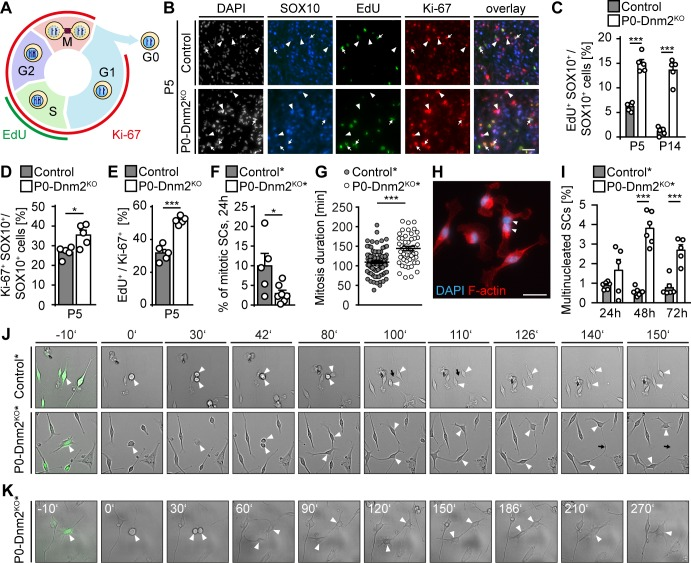 Schwann cells lacking dynamin 2 show impaired cell cycle progression, reduced mitosis rate, and cytokinesis defects. ( A ) Schematic representation of the cell cycle phases marked by Ki-67 and EdU. ( B ) EdU-labeling, combined with immunostainings for Ki-67 and SOX10 on control and P0-Dnm2 KO SN cross-sections at P5. Arrows: EdU+ Ki-67+ SOX10+ SCs, arrowheads: Ki-67+ SOX10+ SCs. Scale bar = 25 μm for entire panel. ( C ) Quantification of ( B ). Percentage of EdU+ SCs/SN cross-sections. N = 5 mice/time point and genotype, Two-Way ANOVA with Sidak's multiple comparisons test. ( D ) Quantification of ( B ). Percentage of Ki-67+ SCs/SN cross-sections at P5. N = 5 mice/genotype, two-tailed unpaired Student´s t-test. ( E ) Quantification of ( B ). Percentage of EdU+ among Ki-67+ SCs/SN cross-section at P5. N = 5 mice/genotype, two-tailed unpaired Student´s t-test. ( F ) Quantification of mitotic events in cultured mouse SCs isolated from Mpz Cre :Rosa26-stop loxP/loxP -YFP (control*) and Mpz Cre :Dnm2 loxP/loxP :Rosa26-stop loxP/loxP -YFP (P0-Dnm2 KO *) SNs at P1, monitored by time-lapse microscopy for 24 hr. Each data point represents one individual animal (at least 42 cells/animal analyzed). N = 5 controls and seven mutant mice, two-tailed unpaired Student´s t-test. ( G ) Quantification of mitosis duration (minutes) of SCs of control* and P0-Dnm2 KO * mice, monitored by time-lapse microscopy for 24 hr. Each data point represents one cell derived from a total of 5 control and seven mutant mice. Cells derived from each animal were isolated and analyzed separately, but pooled in one graph; two-tailed unpaired Student´s t-test. ( H ) Exemplary picture of a multinucleated Dnm2 KO SCs after 48 hr in culture. Scale bar = 25 μm. ( I ) Quantification of multinucleated cells in control and Dnm2 KO SCs after 24 hr, 48 hr and 76 hr in culture. N = 6 mice/genotype for 48 hr; N = 6 control* and n = 5 P0-Dnm2 KO * mice for 24 hr and 72 hr, two-Way ANOVA with Sidak's multiple compariso