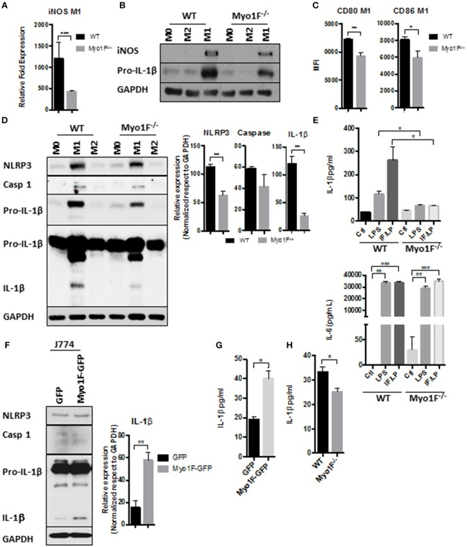 Myo1F is required to stimulate a pro-inflammatory phenotype in macrophages. (A) iNOS expression was analyzed by RT-PCR in WT and Myo1F deficient bone marrow-derived macrophages differentiated into M1 phenotype. M1 phenotype was induced by IFN-γ/LPS (20 ng/ml; 1 μg/ml) stimulation. n = 3. Results are given as mean values ± SD. *** p = 0.0005. (B) iNOS and pro-IL-1β were analyzed by western blotting cell lysates of WT and Myo1F deficient bone marrow-derived macrophages differentiated into M0, M1, or M2 phenotype. M1 phenotype was induced by IFN-γ/LPS (20 ng/ml; 1 μg/ml) stimulation and M2 was obtained by IL-4 (20 ng/ml) exposition. GAPDH was used as loading control. n = 3. (C) Expression of CD80 and CD86 was analyzed by flow cytometry in WT and Myo1F deficient bone marrow-derived macrophages differentiated into M1 phenotype and expressed as Mean Florescence Intensity. M1 phenotype was induced by IFN-γ/LPS (20 ng/ml; 1 μg/ml) stimulation. n = 3. Results are given as mean values ± SD. * p = 0.05, ** p = 0.01. (D) NLRP3, Caspase 1, proIL-1β, and IL-1β were analyzed by western blotting cell lysates of WT and Myo1F deficient bone marrow-derived macrophages differentiated into M1 or M2 phenotype. M1 phenotype was induced by IFN-γ/LPS (20 ng/ml; 1 μg/ml) stimulation and M2 was obtained by IL-4 (20 ng/ml) exposition. GAPDH was used as loading control. n = 3. Densitometric analyses obtained from those results are shown as graphs. ** p = 0.01. (E) Secretion of IL-1β and IL-6 in supernatants of WT and Myo1F −/− derived BMM was performed by ELISA assay. LPS and IFN-γ/LPS stimulation was carried out for 5 h. Graphs are derived from independent experiments carry out by duplicate. n = 3. Results are given as mean values ± SEM. * p = 0.05, ** p = 0.01, *** p = 0.0005. (F) Western blotting for NLRP3, Caspase 1 and IL-1β in J774 cells overexpressing Myo1F or GFP under homeostatic conditions. GAPDH was used as loading control. n = 3. Densitometric analysis obtained from IL-1β is shown as graph. ** p = 0.01. (G) Secretion of IL-1β in supernatants of J774 cells overexpressing Myo1F or GFP was performed by ELISA assay. Graphs are derived from independent experiments carry out by duplicate. n = 3. Results are given as mean values ± SEM. * p = 0.05. (H) Quantification of IL-1β release was analyzed in colonic explants of WT and Myo1F deficient mice stimulated with IFN-γ/LPS. Inflammatory stimulus was administered for 5 h. IL-1β was quantified by ELISA. Graphs are derived from three independent experiments. n = 6. Results are given as mean values ± SEM. * p = 0.05.