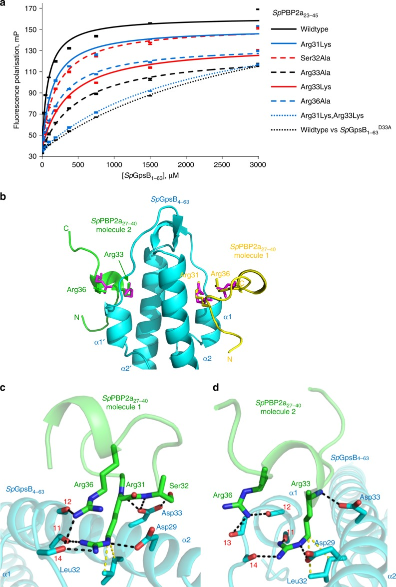 The Sp PBP2a minidomain is not α-helical but still interacts with Sp GpsB through conserved arginines. a Arginine residues of Sp PBP2a play a key role in binding to Sp GpsB. Unless otherwise indicated, the fluorescence polarisation binding curves represent the interaction of TAMRA-labelled Sp PBP2a 23-45 peptides with wildtype Sp GpsB 1-63 . The relevant dissociation constants are listed in Supplementary Table 1 . b The structure of the Sp GpsB 4-63 : Sp PBP2a 27-40 complex reveals the critical role of Sp PBP2a arginines for the interaction with Sp GpsB. In this cartoon, Sp GpsB 4-63 is coloured cyan, and the Sp PBP2a 27-40 peptide is coloured yellow (molecule 1) and green (molecule 2). The sidechains of Arg8 and Arg11 from the Bs GpsB 5-64 : Bs <t>PBP1</t> 1-17 complex are shown as red sticks after a global superimposition of equivalent GpsB atoms. In molecule 1, Sp PBP2a Arg31 and Sp PBP2a Arg36 superimpose with Bs GpsB 5-64 Arg8 and Bs GpsB 5-64 Arg11 whereas molecule 2 accommodates Sp PBP2a Arg33 and Sp PBP2a Arg36 . c , d Close-up view of the interactions of Sp PBP2a from molecule 1 ( c ) and 2 ( d ) with Sp GpsB 4-63 . Key interfacial sidechains and backbone atoms are represented in stick format; Sp GpsB 4-63 is coloured cyan and Sp PBP2A 27-40 is coloured green. The van der Waals' interactions between Sp GpsB Leu32 and Sp PBP1 Arg31 (molecule 1) and Sp PBP1 Arg33 (molecule 2) are in yellow. The carbonyl oxygens of Sp GpsB Ile11 , Sp GpsB Phe12 , Sp GpsB Glu13 and Sp GpsB Gln14 are denoted by respective red numerals