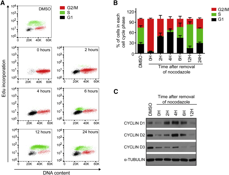 Cell Cycle Synchronization Is Partially Maintained after Release from Nocodazole Inhibition (A) Cell cycle profile of H9 hESCs following release from nocodazole inhibition. Samples were analyzed through a time course of 24 hr. (B) Bar graph summarizing the flow cytometry cell cycle profile analysis of H9 hESCs. Error bars represent ±SEM of five independent experiments. (C) Western blot for cyclin D1, cyclin D2, and cyclin D3 proteins in H9 hESCs through a time course of 24 hr following nocodazole release.