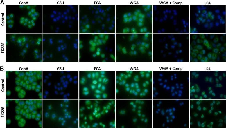HDAC inhibition and sample preparation influence lectin binding in fixed cells. SW13 cells were left untreated (Control), or were treated with 1 nM FK228 for 24 h (FK228). Cells were then fixed and left unpermeabilized ( a ), or were permeabilized with 0.2% Triton-X ( b ) before incubation with 20 μg/ml FITC labeled lectins for ~ 2 h. To demonstrate specificity of lectin binding, wheat germ agglutinin (WGA) stained cells were incubated with WGA elution buffer (+ Comp) for 30 min. Permeabilization of fixed cells before incubation with FITC-labeled lectins can significantly impacts staining of some lectins. All samples were mounted with ProLong Gold anti-fade reagent with DAPI to stain nuclei and photographed using a Zeiss Axiovert apotome with a 40X objective lens and a uniform exposure at each wavelength