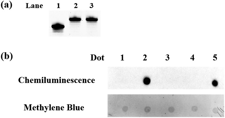 Polyacrylamide gel electrophoresis analysis and dot-blot assay. (a) Polyacrylamide gel electrophoresis analysis of the protected 5fC. Lane 1: ODN-5fC without treatment; lane 2: ODN-5fC protected with hydroxylamine; lane 3: ODN-5fC protected with hydroxylamine and then treated with azi-BP. (b) Dot-blot assay of the streptavidin–HRP detection of oxidized 5hmC labeled with azi-BP and DBCO-PEG4-biotin. Dot 1: 80 bp ds ODN-5hmC without treatment; dot 2: 80 bp ds ODN-5hmC ligated with an adapter and oxidized by KRuO 4 and then labeled with azi-BP and DBCO-PEG4-biotin; dot 3: 80 bp ds ODN-5fC; dot 4: 80 bp ds ODN-5fC protected with hydroxylamine and then incubated with azi-BP and DBCO-PEG4-biotin; dot 5: 80 bp ds ODN-5fC treated with azi-BP and DBCO-PEG4-biotin. Only the biotin labeled DNA can produce a dot. And after methylene blue incubation, we can verify the existence of DNA for every dot.