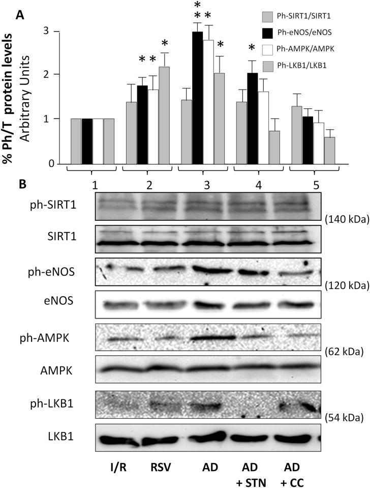 AD-mediated preconditioning activates AMPK, LKB1, and eNOS signaling pathways in the early post-ischemic reperfusion (15 min). Lysates from hearts exposed to 15 min of reperfusion were immunoblotted for phosphorylated and total isoforms of the indicated proteins. A. For each experimental condition, the ratio of phosphorylated/total SIRT-1, eNOS, AMPK and LKB1 proteins are expressed as the mean ± SEM of at least 3 independent experiments (each run in triplicate). Statistical differences between groups were evaluated by one-factor ANOVA followed by Bonferroni correction (*p