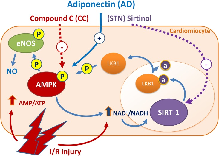 AD preconditioning on isolated rat hearts protects from I/R injury via a signaling pathway involving the AMPK/LKB1/SIRT-1 axis. Phosphorylated AMPK increases eNOS-mediated NO availability, that accounts for the majority of AD cardioprotective effects. By responding to changes in ATP generation/consumption, AMPK plays a key role in modulating energy-consuming anabolic pathways and indirectly participates to SIRT-1 activation through increased NAD + levels and NAD/NADH ratio. In turn, by promoting lysine deacetylation of LKB1 and subsequent translocation from nucleus to cytoplasm, SIRT-1 may sustain the LKB1-mediated activation of AMPK. Combined treatment of AD plus CC (inhibitor of AMPK) or STN (inhibitor of SIRT-1) impair the protective effects of AD preconditioning, suggesting that both AMPK and SIRT-1 are required for AD-mediated cardiovascular protection, and regulate each other activities.