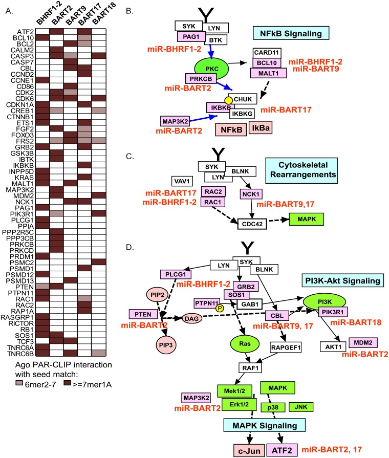 Cellular targets of EBV miRNAs involved in BCR signaling pathways. A. EBV miRNA interactions identified in PAR-CLIP datasets from EBV B95-8 or wild-type LCLs and EBV+/KSHV+ BC1 cells. CLIP'ed cellular 3'UTR sites with > = 6mer canonical seed matches (nt 2–7) to the indicated EBV miRNAs were compared to a BCR-associated gene list curated from six databases (see Methods ). Red boxes indicate presence of an interaction site for a specific 3'UTR. B.-D. Pathways downstream of the BCR are targeted by EBV miRNAs. Cellular targets are highlighted in pink with the corresponding EBV miRNA(s) listed in red. Pathways were constructed in PathVisio 3.0.
