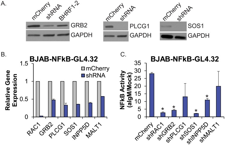 shRNAs to RAC1, GRB2, or SOS1 phenocopy EBV BHRF1-2 miRNA activity. A. BJAB cells were transduced with pL-mCherry or shRNAs to GRB2, PLCG1, or SOS1 as indicated. Lysates were analyzed by Western blot. Gapdh levels are shown as loading controls. Lysate from BJAB cells transduced with pLCE-BHRF1-2 was included in the Grb2 Western blot. B. Knockdown of individual target genes in BJAB-NFkB-GL4.32 cells was assayed by qRT-PCR analysis. Expression levels are normalized to GAPDH and reported relative to control (mCherry) cells. qPCR was performed in duplicate. C. Individual shRNAs were stably expressed in BJAB-NFkB-GL4.32 cells. Cells were stimulated for 18 hr with 5 ug/ml anti-IgM, then lysed and assayed for NF-kappaB responsive luciferase activity. NF-kappaB activity levels are normalized to mock treated cells. Averages and standard deviations (S.D.) are from two independent experiments performed in quadruplicate. By Student's t-test, *p