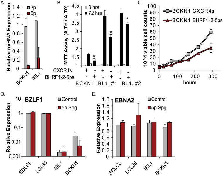 EBV miR-BHRF1-2-5p contributes to the growth of EBV+ DLBCL cells. A. Taqman qRT-PCR analysis of miR-BHRF1-2-5p (5p) and miR-BHRF1-2-3p (3p) expression in miR-BHRF1-2-5p sponged DLBCLs (IBL1 and BCKN1). Values are normalized to U6 and reported relative to the BHRF1-2 miRNA levels in each respective DLBCL transduced with pLCE-CXCR4 control vector. B. Proliferation of DLBCLs as determined by MTT assay following stable transduction with pLCE-CXCR4 control vector or the miR-BHRF1-2-5p sponge. FAC-sorted, GFP+ DLBCLs were maintained in media containing 15% FBS and split one day prior to MTT assays. Values at Tn are normalized to the absorbance values at 0 hr (A-T0). Error bars represent S.D. of measurements from six or eight wells. *By Student's t test, p