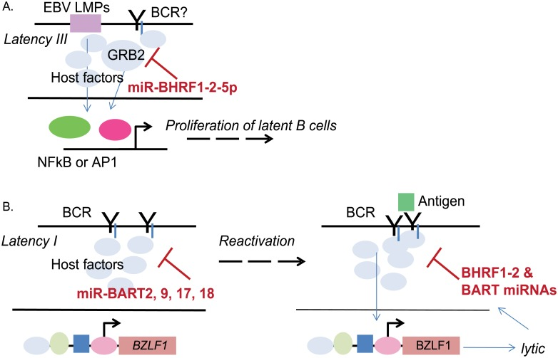 Hypothetical model by which EBV miRNAs, such as miR-BHRF1-2-5p, regulate signal transduction components downstream of BCR and modulate the latent/lytic switch. A. EBV miR-BHRF1-2-5p regulates Grb2 protein levels in multiple EBV-infected B cell types which contributes to B cell proliferation (irrespective of an intact BCR). B. Multiple EBV miRNAs, including miR-BHRF1-2-5p, attenuate signaling through the BCR. Disruption of EBV miR-BHRF1-2-5p and miR-BART2-5p activities, in particular, impact the amplitude of virus reactivation when triggered by antigen cross-linking.