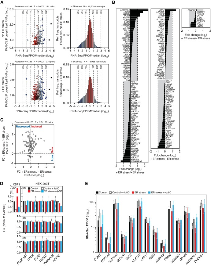 Expression profiles of IRE1-associated RNAs identified by PAR-CLIP. ( A ) Left panels: Scatter plots showing the correlation between the number of crosslinked transcript copies (per million reads) recovered by PAR-CLIP and the expression level as measured by RNA-Seq in the HEK293Trex cell line that force-expresses epitope-tagged IRE1, and under the same ER stress conditions (5 μg/ml tunicamycin). The mean expression level for each transcript (obtained from biological duplicates) was normalized to the median expression level of the entire dataset, which consisted of all transcripts for which we recovered RNA-Seq reads (FPKM > 0) in a particular condition. Right panels: Histograms showing the gene expression distribution in RNA-Seq experiments. Deviations from the central tendency are color-coded, with warm colors closer to the central tendency and cool colors towards the tail ends of the distribution. The same color scheme is applied to the data points in the left panels. The dashed vertical lines indicate the standard deviation (SD) of the median-normalized data. ( B ) Waterfall plots showing the expression change in select transcripts identified by PAR-CLIP measured by RNA-Seq in the HEK293Trex cell line that force-expresses epitope-tagged IRE1, and under the same ER stress conditions (5 μg/ml tunicamycin). Bars: mean values of biological duplicates. ( C ) Scatter plots showing the fold-change in the number of crosslinked transcript copies recovered by PAR-CLIP in the presence or absence of chemically induced ER stress and the fold-change in the number of RNA-Seq reads (FPKM) in the same conditions. Genes repressed or expressed during ER stress are indicated on the X-axis. Transcripts for which there is a loss or gain of recovered crosslinked copies are indicated on the Y-axis. ( D ) Representative quantitative real-time PCR measurements of the levels of select PAR-CLIP hit mRNAs in response to ER stress in different cell types. ER stress was induced with 300 nM of the ER calcium reuptake inhibitor thapsigargin, and the cells were pre-treated for 30 min with 5 μg/ml actinomycin D to block transcription. The IRE1 specific inhibitor 4μ8C (50 μM) was used as a control for specificity. Metrics for spliced XBP1 mRNA or the canonical RIDD substrate mRNA, BLOC1S1 , were used as positive controls. Data: mean of triplicates. Error bars: SDs. ( E ) Changes in the transcript levels of select PAR-CLIP targets during ER stress measured by RNA-seq. Data: Mean FPKM values of biological duplicates. Error bars: 95% CI.