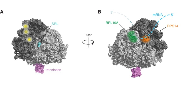 IRE1 associates with specific surfaces on the ribosome. ( A ) IRE1 crosslink sites do not coincide with published DDX3 crosslink sites on ribosomes (depicted in yellow) ( Oh et al., 2016 ). ( B ) Topographical localization of ribosomal proteins <t>crosslinked</t> to IRE1 through <t>RNA</t> bridges and recovered in denaturing IPs which lie adjacent to the mRNA exit site on the ribosome.