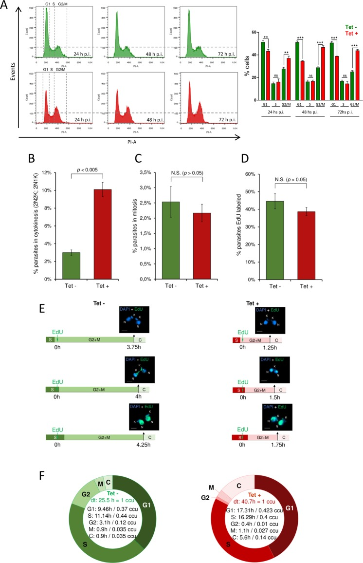 Tc HMGB overexpression alters cell cycle progression. ( A ) Flow Cytometry analysis of the cell cycle progression. On the left, Flow Cytometry analysis of cultured T . cruzi Dm28c/p Tc INDEX-GW- Tc HMGB(HA) 2 epimastigotes at different times post-tetracycline induction (p.i.). Histograms are plotted as number of events vs. propidium iodide absorbance (PI-A). On the right, bar graph with the percentages of cells in the different phases of the cell cycle. **p