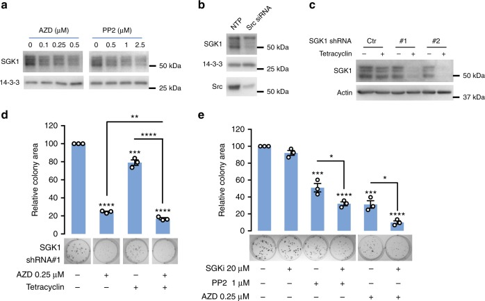 SGK1 signals downstream of active Src in non-small cell lung cancer. a Src inhibition decreases SGK1 expression levels. Lysates from A549 cells treated for 16 h with AZD0530 (AZD) or PP2 were western blotted as indicated. Representative blots are shown from n = 2 biological replicates. b Src knockdown decreases SGK1 expression levels. A549 cells were transfected with a Src siRNA SMARTpool or non-targeting control (NTP) (20 nM) and cell lysates harvested at 72 h for western blot analysis. c SGK1 knockdown by tetracycline-inducible shRNAs. A549 cells stably programmed to express tetracycline-inducible SGK1 shRNAs or empty vector (Ctrl) were treated with tetracyclin (1 μg/ml) for 48 h and lysates were collected for western blot. d Effect on A549 colony formation of combining SGK1 knockdown with Src inhibitor (AZD) treatment. A549 cells stably transfected with tetracyclin-inducible SGK1 shRNA#1 were treated +/−tetracyclin and +/−AZD. Data are expressed relative to the DMSO control which was arbitrarily set at 100. e Effect on colony formation of combining SGK1 inhibitor (SGKi) with Src inhibitor (AZD) treatment. A549 cells were treated +/−SGKi and +/−AZD. Data are expressed relative to the DMSO control which was arbitrarily set at 100. Coefficient of drug interaction (CDI) is 0.68 (SGKi and PP2) and 0.34 (SGKi and AZD), respectively, indicating synergy. d , e Results were quantified from n = 3 biological replicates. Error bars represent s.e.m., * p
