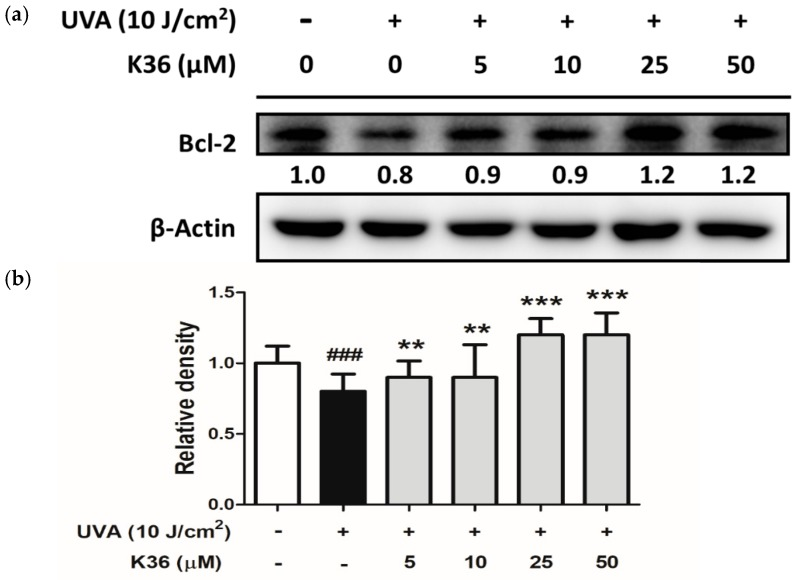 Effect of K36 on UVA-induced Bcl-2 expression in human epidermal keratinocytes. The representative image of the western blot ( a ) and the average value of the triplicate experiment ( b ); significant difference versus nonirradiated group: ###, p