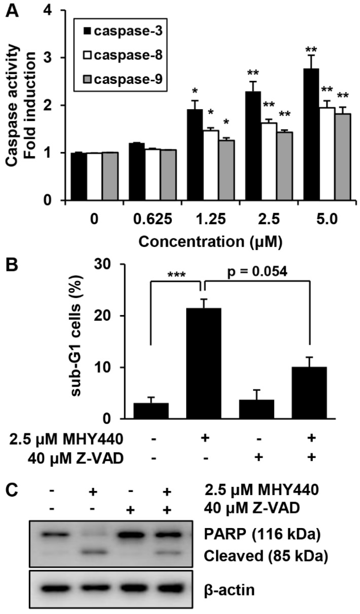 The effect of caspases on MHY440-induced apoptosis in AGS cells. ( A ) MHY440-treated cell lysates were assayed for caspase-3, -8, and -9 activities using DEVD-pNA, IETD-pNA and LEHD-pNA substrates, respectively. The emitted fluorescent products were measured. Data are expressed as the means ± SD of triplicate samples. The results represent one of three independent experiments. ( B ) Cells were pretreated with 40 μM Z-VAD-FMK for 30 min and then treated with 2.5 μM MHY440 for 24 h. Cells were stained with PI and analyzed using flow cytometry. The results are expressed as means ± SD of three individual experiments. Significance was determined using Student's t -test (* p