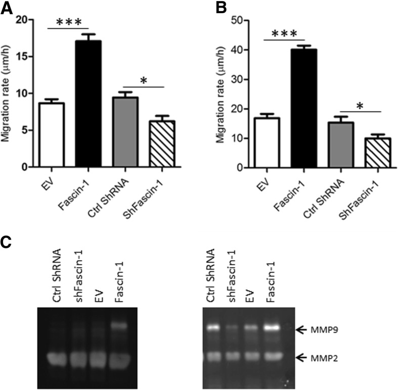 Migration assessed by wound healing . Overexpression of Fascin-1 in SaOS-2 ( a ) or in 143B (b) OS cells increases significantly the migration ability. Similarly, silencing of Fascin-1 slightly decreased the migratory rate of SaOS-2 ( a ) and 143B ( b ) cells. Results are the mean ± SEM of at least three independent experiments. ( c ) Zymography analysis showing increased MMP-9 activity in SaOS-2/Fascin-1 (left panel) and in 143B/Fascin-1 (right panel) in comparison to control SaOS-1/EV and 143B/EV cells respectively. Results are the mean ± SEM of three independent experiments