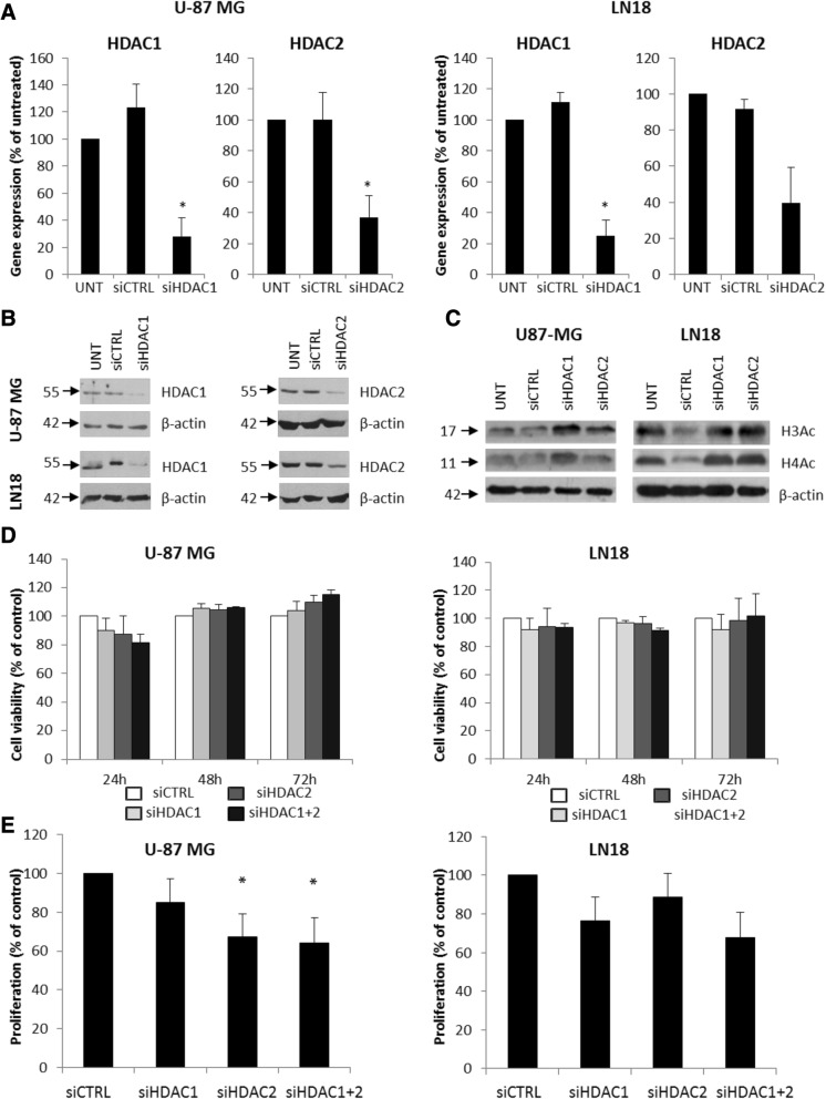 Knockdown of HDAC 1 and HDAC 2 results in reduced cell proliferation. a HDAC 1 and HDAC 2 expression was estimated by qRT-PCR in U-87 MG and LN18 cells after gene silencing using specific siRNAs. b Western blot analysis shows efficacy of HDAC 1 and HDAC 2 knockdown at protein level. c Western blot for acetylated histones H3 and H4 (H3Ac, H4Ac) in HDAC 1 and HDAC 2 depleted U-87MG and LN18 cells 48 h after siRNA transfection. d MTT metabolism test for cell viability 24, 48, and 72 h after transfection with HDAC 1 or/and HDAC 2 siRNAs or a control siRNA. e BrdU incorporation test for cell proliferation 48 h after knockdown of HDAC 1 or/and HDAC 2 in U-87MG and LN18 cells. The respective p values were calculated using type 2 two-tailed t test, and p