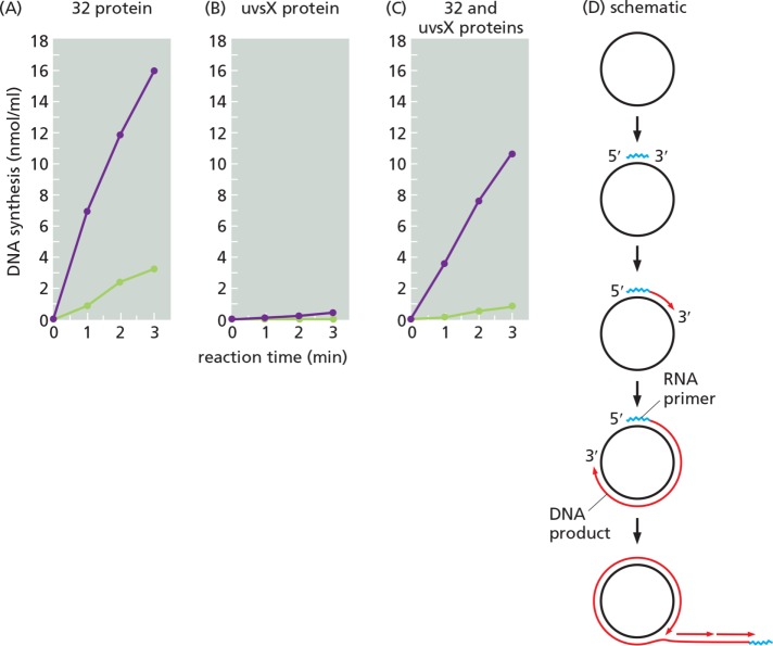 In the presence of UvsX protein, both gp59 and gp32 (32 protein) are needed to assemble a primosome on single-stranded DNA. RNA-primed DNA synthesis was carried out as described in Materials and Methods , either with (purple) or without (green) the addition of gp59. The single-stranded, circular M13 DNA template was incubated for 1 min at 37°C with the following DNA binding proteins: (A) gp32 (32 protein), (B) UvsX protein, and (C) both gp32 and UvsX proteins. DNA synthesis was then initiated by the addition of the T4 DNA polymerase holoenzyme and the T4 primosome (the DNA primase, gp61, plus the DNA helicase, gp41). When present, gp32 was present at 1.2 times the amount needed to cover all the single-stranded DNA (62 µg/ml), based on a binding site of 7 nucleotides per gp32 molecule ( Jensen et al. , 1976 ). The UvsX protein was present at 1.3 times the amount needed to cover all the single-stranded DNA (100 µg/ml), based on a binding site of five nucleotides per UvsX protein molecule. In (C) many DNA circles are covered by alternating patches of UvsX and gp32, each in a linear array that reflects each protein's cooperative DNA binding ( Griffith and Formosa, 1985 ). In (D), we diagram the sequence of polynucleotide syntheses in these reactions—the primosome-catalyzed synthesis of a pentaribonucleotide (RNA primer) that then primes DNA synthesis by T4 DNA polymerase and its accessory proteins.