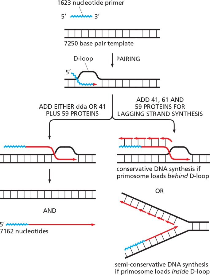 Schematic illustration of three possible types of recombination-dependent DNA synthesis. (Left) Conservative DNA synthesis of the type reported by Formosa and Alberts (1986) , in which only a DNA single strand is produced. The dda protein was the T4 DNA helicase used in that earlier work; here we show that we can replace it with a mixture of gp41 DNA helicase and gp59 to drive the reaction shown on the left. (Right) Top, What happens when gp61 is added to form a complete primosome? If the T4 primosome (gp41 plus gp61) is loaded onto the displaced single-stranded tail, conservative DNA synthesis will produce a new DNA double helix in which both of the DNA strands in the new duplex are newly made. Bottom, If the T4 primosome is instead loaded inside the D-loop, DNA synthesis will occur semiconservatively. In that case, as at the standard replication fork, both of the two daughter DNA helices produced contain one old and one new strand.