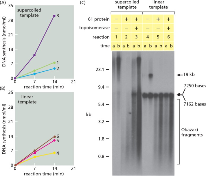 Lagging-strand DNA synthesis creates a DNA topoisomerase requirement for recombination-dependent DNA synthesis on supercoiled, but not on linear DNA templates. (A) Amount of DNA synthesized when the double-stranded DNA template is supercoiled. (B) Amount of DNA synthesized under exactly the same conditions when the double-stranded DNA template is linear. (C) Alkaline agarose gel electrophoresis of the radioactive products from the reactions in A and B. Note that DNA products much longer than the supercoiled template molecule are formed in the absence of gp61 and topoisomerase (reaction 1), due to rolling-circle DNA synthesis from a small moving bubble ( Formosa and Alberts, 1986 ). But when gp61 is added to complete the primosome, lagging-strand synthesis occurs on the supercoiled template. Now all of the products are short without topoisomerase present (reaction 2). When topoisomerase is added, long DNA products are synthesized on the supercoiled template like those in reaction 1, along with products resembling Okazaki fragments and a conspicuous band at 7.25 kb (reaction 3). In contrast, there is no effect of topoisomerase on the products made on the linear template in the presence of 61 protein (compare reactions 5 and 6). See Figure 5 for diagrams that illustrate these results. As described in Materials and Methods , M13MP19 double-stranded DNA, either supercoiled (form I) or Bgl II-linearized (form III), was preincubated with the DNA polymerase holoenzyme, gp32, gp41, gp59, UvsX, UvsY, and the dda DNA helicase. The gp61 DNA primase (61 protein) and the T4 DNA topoisomerase were also present where indicated. After temperature equilibration at 37°C, recombination-dependent DNA synthesis was started by the addition of the homologous 1623 nucleotide single-stranded DNA primer and the nucleotide substrates. After 7 and 14 min of DNA synthesis, the amount of product was determined from the incorporation of radioactively labeled [α- 32 P]dTTP precursor (panels A and B
