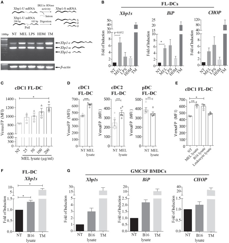 Human and murine melanoma cell lysates induce expression of XBP1s and additional members of the UPR in murine BMDCs. (A) FL-DCs were left untreated (NT) or stimulated with 100 μg/ml cell lysate from human melanoma cell lines (MEL), 100 ng/ml lipopolysaccharide (LPS), 50 μg/ml house dust mite extract (HDM), or 1 μg/ml tunicamycin (TM) for 8 h. Expression of Xbp1s was determined by a RT-PCR protocol for Xbp1s and Xbp1u that includes a digestion step with the restriction enzyme PstI. The Pst I digestion site in the intron of Xbp1u mRNA allows the distinction between Xbp1s and two fragments of Xbp1u mRNA. A representative scheme is illustrated. Data is representative of three independent experiments. (B) FL-DCs were stimulated as in (A) and expression of Xbp1s, BiP , and CHOP mRNA was measured by qPCR relative to L27 expression, and depicted as fold of induction to the NT condition. Data in graphs depicts three independent experiments. (C) FL-DCs generated from ERAI mice were left untreated (NT) or stimulated with 25, 50, 100, and 200 μg/ml of MEL for 16 h for the quantification of VenusFP expression. Data in graphs depicts the MFI of cDC1 FL-DC (XCR1 + ) of three independent experiments. (D) ERAI FL-DCs were NT or stimulated with 100 μg/ml MEL for 24 h for the quantification of VenusFP expression. Data in graphs depicts the MFI of cDC1 FL-DC (XCR1 + ), cDC2 FL-DC (SIPRα + ), and pDC FL-DC (B220 + ). (E) ERAI FL-DCs were NT or stimulated with 100 ug/ml MEL, 100 ug/ml human leukocyte cell lysate or 100 ug/ml B16F10 murine melanoma cell lysates (B16 lysate) for 24 h to evaluate VenusFP expression. Data in graphs depicts the MFI of cDC1 FL-DC (XCR1 + ) of three independent experiments. (F) FL-DCs were left untreated (NT) or stimulated with 100 μg/ml B16 lysate or 1 μg/ml TM for 8 h and expression of XBP-1s was measured by qPCR. Data in graphs depicts three independent experiments. (G) GMCSF BMDCs were left untreated (NT) or stimulated with 100 μg/ml B16 lysate or 1 μg/ml T