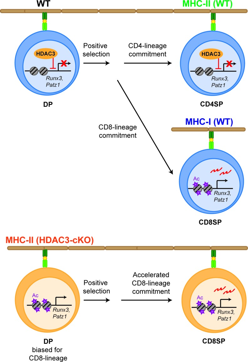 Model. HDAC3 is required to restrain CD8-lineage genes for CD4-lineage choice. In WT thymocytes (upper panel), HDAC3 associates with Runx3 and Patz1 in DP thymocytes to restrain CD8-lineage gene expression. After positive selection, HDAC3 stays bound to these regions in CD4SP thymocytes for CD4-lineage commitment, while in CD8SP thymocytes HDAC3 no longer binds to these regions for expression of CD8-lineage genes and CD8-lineage commitment. However, deletion of HDAC3 (lower panel) results in an increase in histone acetylation at CD8-lineage genes ( Runx3 , Patz1 ) and priming DP thymocytes for the CD8-lineage. As a result, Runx3 is pre-maturely expressing during CD4/CD8-lineage choice and cells commit to the CD8-lineage, which is accelerated.