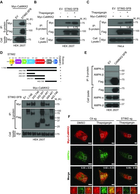STIM2 recruits CaMKK2 to regulate calcium-induced AMPK activation. A ) STIM2 interacts with CaMKK2. HEK 293T cells were cotransfected with STIM2-SFB [or empty vector (EV)] and myc-CaMKK2. STIM2-SFB was immunoprecipitated using S-protein beads, and coprecipitated myc-CaMKK2 was detected after immunoblotting using anti-myc antibody. B , C ) Cytosolic calcium influx promotes STIM2 interaction with CaMKK2. HEK 293T ( B ) and HeLa ( C ) cells stably expressing STIM2-SFB alone were transiently transfected with myc-CaMKK2 and then incubated with medium containing thapsigargin (1 μM) for 30 min. Cell lysates were subjected to immunoprecipitation using S-protein beads. Coprecipitates were analyzed after Western blotting with anti-myc antibody. D ) STIM2 interacts with CaMKK2 through its CAD/SOAR region. Upper panel: Schematic representation of STIM2 full-length and deletion mutants used in this study. Lower panel: Protein extracts of HEK 293T cells expressing full-length and truncated mutants of STIM2-SFB along with myc-CaMKK2 were immunoprecipitated with S-protein beads and analyzed for coprecipitated myc-CaMKK2 using immunoblotting with anti-myc antibody. E ) AMPK does not form a stable complex with CaMKK2. Protein extracts of HEK 293T cells expressing full-length CaMKK2-SFB were immunoprecipitated with S-protein beads and analyzed for coprecipitated proteins using indicated antibodies. F ) Calcium-induced colocalization between AMPK and CaMKK2 depends on STIM2. Control and STIM2-depleted HeLa cells were transiently transfected with myc-CaMKK2, incubated with medium containing thapsigargin (1 μM) for 30 min, and processed for immunofluorescence imaging. Rabbit anti-myc antibody, goat anti-rabbit <t>IgG</t> <t>Alexa</t> Fluor 633 secondary antibody for myc (red), and mouse anti–AMPK-α goat anti-mouse IgG Alexa <t>Fluor</t> 488 secondary for AMPK-α (green) were used. Representative images from each condition are presented. Overlap coefficients for the AMPK and CaMKK2 signal are presented in the upper right corner of the merge panels ( n = 19 for Ctl sg + DMSO, n = 22 for Ctl sg + thapsigargin, and n = 18 for STIM2 sg + thapsigargin). In all images, insets display the selected area along with the overlays. Scale bars, 5 μm. P