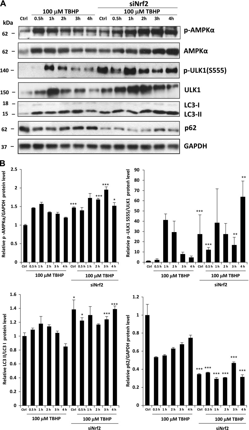NRF2 down-regulates autophagy proteins after long exposure to oxidative stress in the HEK293T cell line. A ) Time dependency of autophagy down-regulation by NRF2 in oxidative stress. Western blot results of HEK293T cells in 100 µM TBHP-containing media. The Western blot shows the time course levels of autophagy-related proteins. Cells were cultured with TBHP for 0.5, 1, 2, 3, and 4 h, while NRF2 gene expression was depleted by NRF2 siRNA. GAPDH was used as a loading control. B ) Quantification and statistical analysis of the Western blot assays. Densitometry data represent the intensity of p62 normalized for GAPDH, LC3-II normalized for LC3-I, ULK555-P normalized for total level of ULK, and AMPK-P normalized for GAPDH. Samples were compared with their partner with siNRF2 background. Error bars represent ± sem . * P