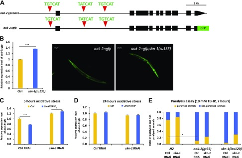SKN-1/NRF2 down-regulates aak-2/AMPK expression upon oxidative stress in C. elegans. A ) The genomic region of aak-2 with predicted SKN-1 binding sites, and the structure of the translational aak-2::gfp reporter gene, is shown. Black boxes correspond to exonic sequences, connecting lines represent introns. Red triangles indicate conserved SKN-1 binding sites. B ) Expression of aak-2::gfp transgene was increased in skn-1(-) mutant background. C ) In acute oxidative conditions (2 mM TBHP, 5 h), aak-2::gfp expression was decreased in animals with wild-type background. The absence of skn-1 gene products eliminated this change of gene expression. D ) In chronic oxidative conditions (2 mM TBHP, 24 h), aak-2::gfp gene expression was not inhibited. E ) Paralysis assay of worms held on 10 mM final concentration TBHP plates. Data are expressed as the ratio of paralyzed/nonparalyzed worms. The number of animals examined: n = 15–100. Error bars represent ± sem . All experiments were independently reproduced 3 times. * P
