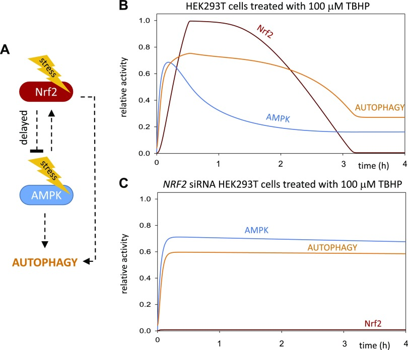 Proposed computational model of NRF2-dependent AMPK down-regulation during oxidative stress. A ) The core network of AMPK and NRF2 regulation with respect to oxidative stress. The dotted line denotes how the components can influence each other. B ) Numerical simulations of relative protein levels and activities of the HEK293T cell line with a mathematical model during oxidative stress. Both AMPK and NRF2 have a transient activation profile resulting in the down-regulation of autophagy after 4 h of oxidative stress. C ) Numerical simulations of relative protein levels and activities of the HEK293T + siNRF2 cell line with a mathematical model during oxidative stress. The active AMPK is able to maintain the autophagic process high in the absence of NRF2.