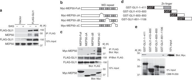 <t>GLI1</t> interacts with the MEP50/PRMT5 complex. a FLAG-GLI1 interacted with endogenous MEP50 and interaction of FLAG-GLI1 and MEP50 was increased by HH signalling pathway activation. C3H10T1/2 cells were transfected with FLAG-GLI1 or the empty vector for 24 h and then treated with 300 nM SAG for an additional 24 h. Interaction of FLAG-GLI1 and MEP50 was detected by immunoprecipitation with anti-FLAG antibody followed by immunoblot analysis using anti-FLAG and anti-MEP50 antibodies. b Schematic structures of MEP50 deletion mutants. c Mapping of the GLI1-binding region in MEP50 by immunoprecipitation analysis. HEK293T cells were transfected with Myc-MEP50 deletion mutants and FLAG-GLI1 plasmids for 24 h. Interaction of FLAG-GLI1 and Myc-MEP50 deletion mutants was detected by immunoprecipitation with anti-FLAG antibody followed by immunoblot analysis using anti-FLAG and anti-Myc antibodies. d Schematic of GLI1 deletion mutants. e <t>GST</t> pull-down assays to map the MEP50-binding region in GLI1. GST-GLI1 deletion mutants coupled to glutathione sepharose were incubated with immunoprecipitated Myc-MEP50 from HEK293T cells. Immunoblotting was performed with an anti-Myc antibody. In a and e , data represent one of three independent experiments with similar results. In c , data represent one of two independent experiments with similar results. Unprocessed original scans of blots are shown in Supplementary Fig. 6