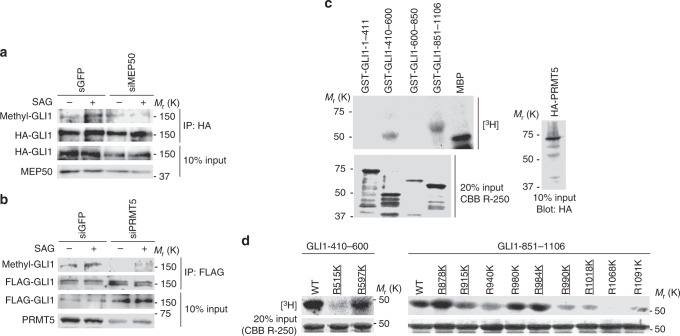 MEP50/PRMT5 complex induces GLI1 methylation. a , b Methylation of GLI1 in MEP50- ( a ) or PRMT5- ( b ) knockdown C3H10T1/2 cells. siMEP50-m2 and siPRMT5-m2 siRNAs were stably expressed by recombinant retroviruses. Cells transfected with FLAG-GLI1 were cultured for 24 h, followed by treatment with 300 nM SAG for 24 h. Methylated GLI1 was detected by immunoprecipitation with an anti-FLAG antibody followed by immunoblot with anti-SYM11 antibody. c In vitro methylation assays to determine the region including methylated arginine residues in GLI1 deletion mutants. HA-PRMT5 expression plasmid was transfected into HEK293T cells. At 48 h after transfection, the cells were lysed, and HA-PRMT5 was immunoprecipitated using an anti-HA (3F10) antibody. GST-GLI1 deletion mutants coupled to glutathione sepharose were incubated with immunoprecipitated HA-PRMT5 from HEK293T cells. Upper panel represents the methylated GST-GLI1 deletion mutant. Lower panel represents 20% input of GST-GLI1 deletion mutants detected by CBB R-250 staining. HA-PRMT5 expressed in 10% of total lysate used for immunoprecipitation is shown in the right panel. d In vitro methylation assays to determine methylation sites in GLI1 using amino acid substitutions (arginine to lysine) of candidate methylation sites. In vitro methylation assays were performed as described in ( c ). Upper panel represents methylated GST-GLI1 mutants. Lower panel represents 20% input of GST-GLI1 mutants detected by CBB R-250 staining. Underlined text denotes highly conserved residues among mammals, as shown in Supplementary Fig. 4 . In c , data represent one of three independent experiments with similar results. In a and d , data represent one of twice independent experiments with similar results. Unprocessed original scans of blots are shown in Supplementary Fig. 6