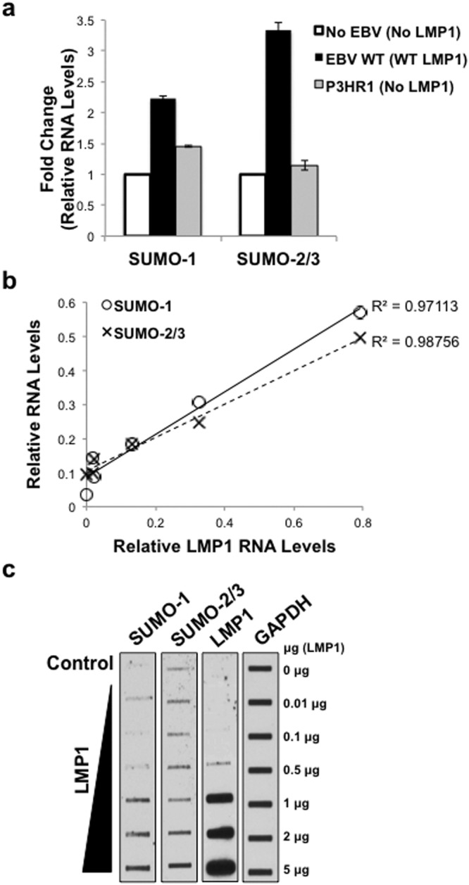LMP1 was necessary and sufficient to increase sumo-1/2/3 and SUMO-1/2/3 levels in vivo . ( a ) Real-time PCR was performed using cDNA generated from RNA harvested from BL41 EBV-negative, BL41 EBV WT, and BL41 EBV mut (P3HR1) cells. The fold change in relative sumo- 1 and sumo- 2/3 expression (relative to gapdh ) was determined. Results are shown as the mean ± the standard deviation samples run in triplicate and independent experiments performed in triplicate. ( b – c ) 293 cells were serum-starved for 24 hours and then transfected with graduated amounts of an LMP1-expression vector or a control vector in serum-free media. ( b ) RNA was harvested, cDNA prepared, and real-time PCR performed. Relative LMP1, sumo-1 , and sumo-2/3 levels were determined (relative to gapdh ). Regression analysis of LMP1 and sumo-1 or sumo-2/3 levels was performed. Samples were run in triplicate and independent experiments performed in triplicate. ( c ) Slot blots were performed to detect SUMO-1, SUMO-2/3, and LMP1 levels. GAPDH was used as a loading control. Representative blots for experiments performed in triplicate are shown.