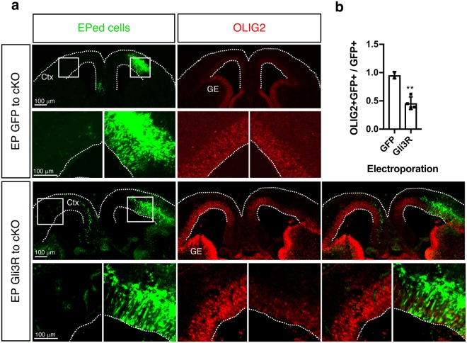 GLI3R can repress Olig2 induction in Arx cKO/y cortex. ( a ) Representative images of the E14.5 Arx cKO/y cortex electroporated with a control GFP ( pCIG )or Gli3R expression construct ( pCIG-Gli3R ) at E12.5 and double immunolabeled with GFP (green, EPed cells) and OLIG2 (red). The lower panels are magnified images of the boxed areas in the upper panels. Dotted lines mark the outlines of the sections. ( b ) Quantification of results in ( a ). The ratio of OLIG2+ GFP+ cells over GFP+ cells was plotted for both GFP and Gli3R electroporated samples. Error bars: mean ± s.d (n = 4 sections from two embryos per genotype; **P = 0.0034; unpaired t-test). CTX, embryonic neocortex; GE, ganglionic eminence.